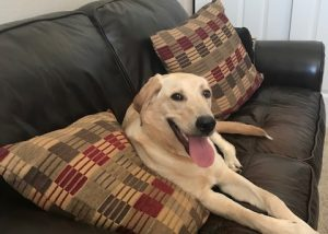 Available Dogs - Safe Harbor Lab Rescue - Denver