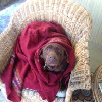 Missy in her blanket